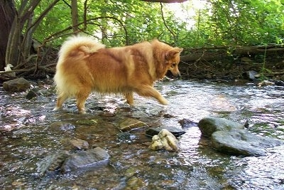A tan with white Icelandic Sheepdog is walking through a stream in the woods.