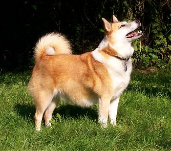 A tan with white Icelandic Sheepdog is standing in grass. It is looking up and to the right. Its mouth is open