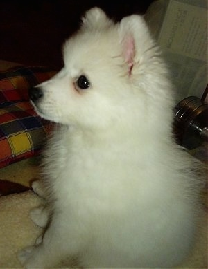 Side-view - A white Japanese Spitz puppy is sitting on a dog bed