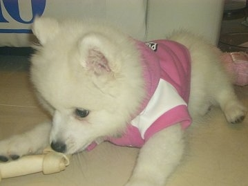 Volley the pure white Japanese Spitz is wearing a pink and white shirt and also laying on the white tiled floor while chewing a rawhide bone