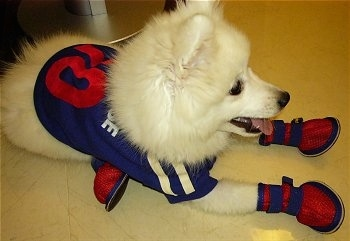 Volley the pure white Japanese Spitz puppy is laying on a white tiled floor wearing a blue and red football jersey and matching shoes
