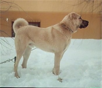 Right Profile - A tan Kangal dog is standing in snow next to a tan house.