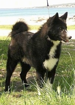 A black and white Karelian Bear Dog is standing in grass. There is a large body of water behind it
