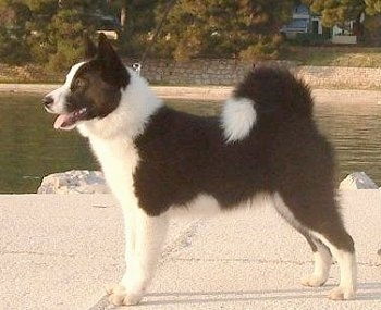 Left Profile - A black and white Karelian Bear dog is standing on land next to a body of water. There is a stone wall on the other side of the water.