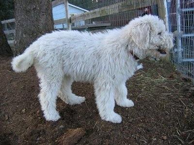 Right Profile - A white Komondor puppy is standing in dirt and looking through a metal gate