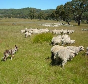 An Australian Koolie is working to make sure a herd of sheep don't stray away in a field with trees in the distance.