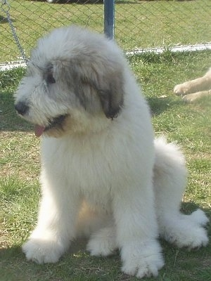 View from the front - A fluffy white with black Mioritic Sheepdog Puppy is sitting in grass and looking to the left. There is a chainlink fence behind it.
