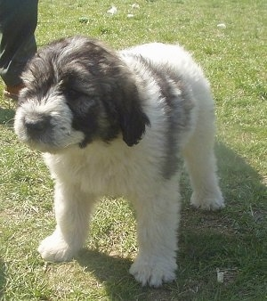 Front side view - A fluffy white with black Mioritic Sheepdog puppy is standing in grass looking forward.