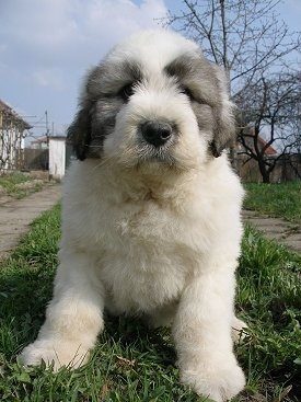 Close up view from the front - A fluffy, white with black Mioritic Sheepdog puppy is sitting in a strip of grass looking forward. There is a cement sidewalk on one side of it and a flagstone walkway on the other side.