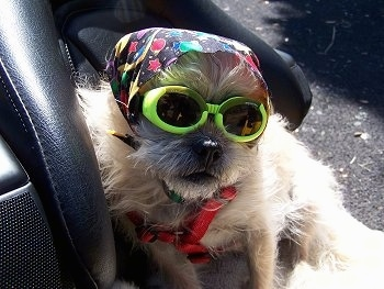 Close up - A wiry-looking Terrier mix is in the backseat of a motorcycle. It has on a colorful bandana on its head and bright yellow goggles.