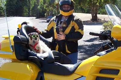 A Terrier mix is sitting in the back seat of a bright yellow with black motorcycle. It is wearing glasses and a red harness. There is a person standing next to it wearing a matching yellow and lack outfit and he has another small chihuahua dog in his jacket.