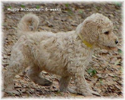 A tan Goldendoodle Puppy is walking across ground riddled with leaves. The words - Muzby McDoodles - 6 - weeks - is overlayed