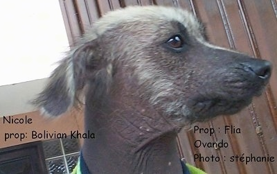 Close Up head shot - A Hairless Khala puppy is sitting outside. Its head it turned to the right. The words - Nicole Prop:Bolivian Khala Prop:Flia Ovando Photo:Stephanie are overlayed