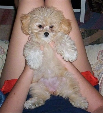 A fuzzy, tan with white Peek-a-poo is laying belly out in a person's lap looking forward.