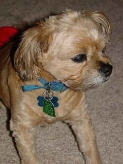 Close up - A tan Peke-A-Poo is wearing a light blue collar laying down on a carpet looking to the left. There is a red blanket behind it. It has its coat shaved short with longer hair on its ears.