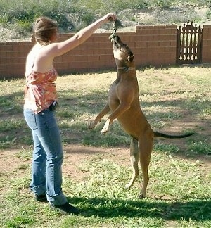 Shasta the Labrabull is jumping to grab a rope toy that is being held by a lady