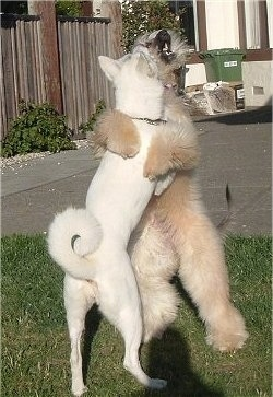 A tan Afghan Hound is standing up against a white Akita. They are biting at each other. Both dogs are on their hind legs in the grass with a wooden privacy fence next to them.