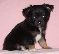 Side view - A black with brown and white Pomchi puppy is sitting across a pink blanket and it is looking forward.