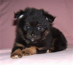 Front view - A fuzzy black with brown Pomchi puppy is laying on a pink blanket and it is looking forward.