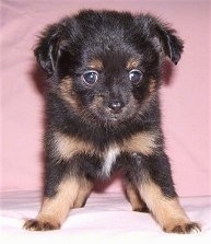 Front view - A black with brown and white Pomchi puppy is standing on a pink blanket and it is looking over the edge.