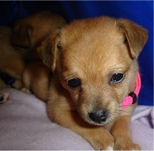 Close up - A shorthaired apricot Pomchi puppy is wearing a hot pink collar laying on a blanket and looking down. There is another dog behind it. It has small triangular ears that fold over to the front.