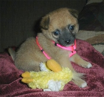 A shorthaired, brown with black and white Pomchi puppy is wearing a hot pink harness sitting on a red blanket with a yellow chicken plush doll under it. It has small ears that flop over to the front.