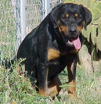 Front view - A black and tan Roman Rottweiler is sitting against a chainlink fence in grass. Its mouth is open and tongue is hanging out the right side of its mouth.