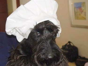 Close Up - Montgomery MacGregor the black Scottish Terrier is wearing a large white bakers hat.
