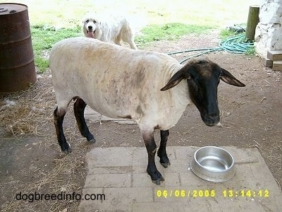 A shaved Lamb is standing in front of a silver bowl. There is a white Great Pyrenees in front of a barn behind her. The dog's mouth is open and his tongue is out