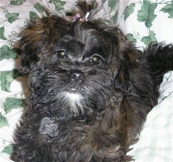 Close up - A black with white Shih-Poo puppy is laying on a blanket, it has a purple bow in its hair that is sticking up.