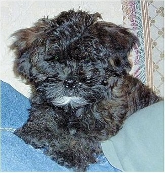 A fluffy black with white Shih-Poo puppy is laying on top of a persons lap.