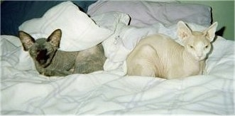 Cassy the black hairless Sphynx cat and Gabby the peach hairless Sphynx cat are sleeping together on a bed