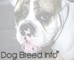 Close up - Spike the Bulldogs face, he is looking forward and his mouth is open. There is an opac white layer overtop of the image. The Words - Dog Breed Info - are overlayed at the bottom of the image.