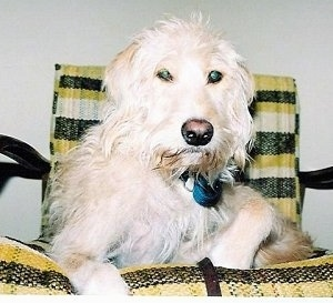 Charlie the Spinone Italiano mix is laying in a yellow, black and white striped lawn chair