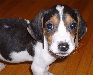Close up - Top down view of a small white and black with brown Treeing Walker Coonhound puppy that is standing across a hardwood floor, it is looking up and forward. It has a black nose and wide round dark eyes.