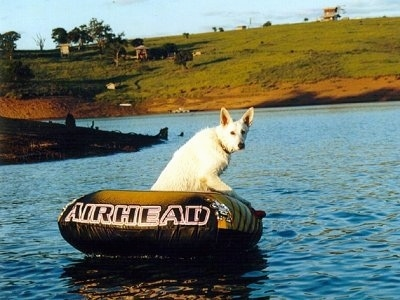 American White Shepherd floating on a blow up raft in the middle of a body of water