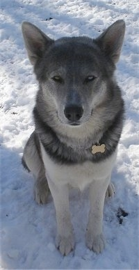 A grey, black and white Wolf Hybrid is sitting outside in snow and it is looking up. It has perk ears and gray eyes.