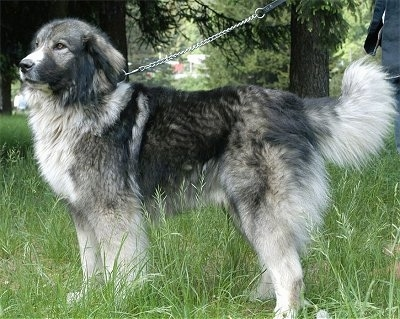 Carpathian Sheepdog standing outside in tall grass while on a leash