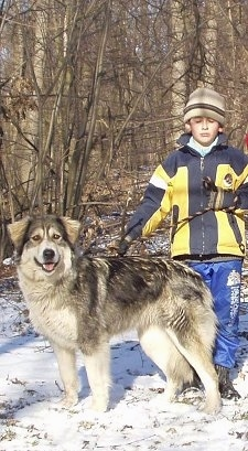 Mura de Baltag the Carpathian Sheepdog is standing in snow next to a child. The Child has its eyes closed