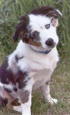 A merle white with black and brown Miniature Australian Shepherd is sitting in grass with its head tilted to the left looking forward.