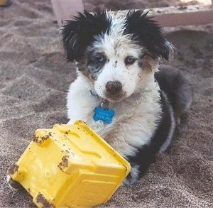 A tricolor black with white and brown Miniature Australian Shepherd is laying in sand with a plastic yellow sand castle bucket in front of it.