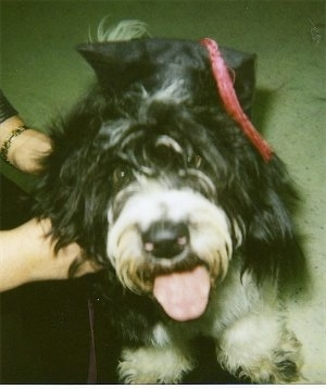 Front view from above looking down at the dog - A shaggy, black with white Petit Basset Griffon Vendeen dog is wearing a black graduation cap with a red tassel jumped up on a person looking up. Its mouth is open and tongue is out.
