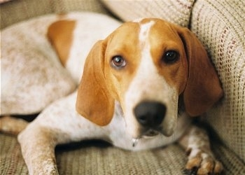 Close Up - Purdie the white and tan ticked English Coonhound is laying on a couch