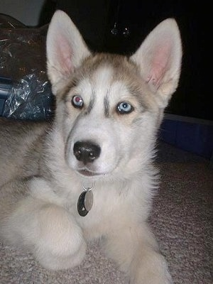 A grey and white Wolf Hybrid puppy with blue eyes is laying on a carpet and it is looking forward.