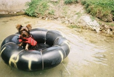 Isabelle the Silky Terrier is floating on a tube in a body of water