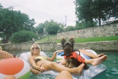 Isabelle the Silky Terrier is wearing an orange life vest and sharing a tube with a lady who is floating down a river