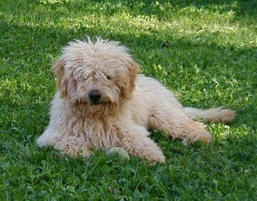 A tan Australian Labradoodle is laying down in grass with a ball toy in front of it.