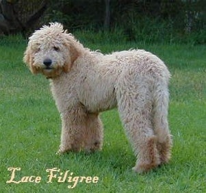 The left side of a cream colored Australian Labradoodle that is standing across a yard with the words 'Lace Filigree' overlaid.