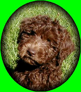 Close up - A chocolate Australian Labradoodle puppy is sitting in a field and it is looking forward. There is a green vignette around the image.