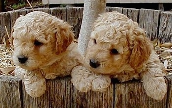 Close Up - Two Australian Labradoodle puppies are hanging over the edge of the inside of a wooden tree well and they are looking to the left.